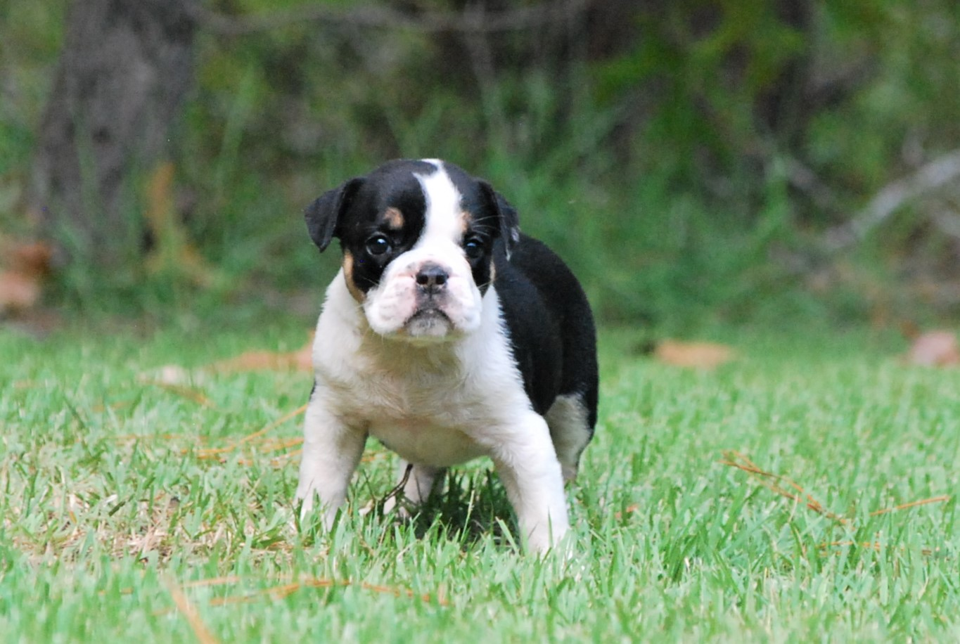 Clementine Olde English Bulldogge Puppy For Sale | Photo 4
