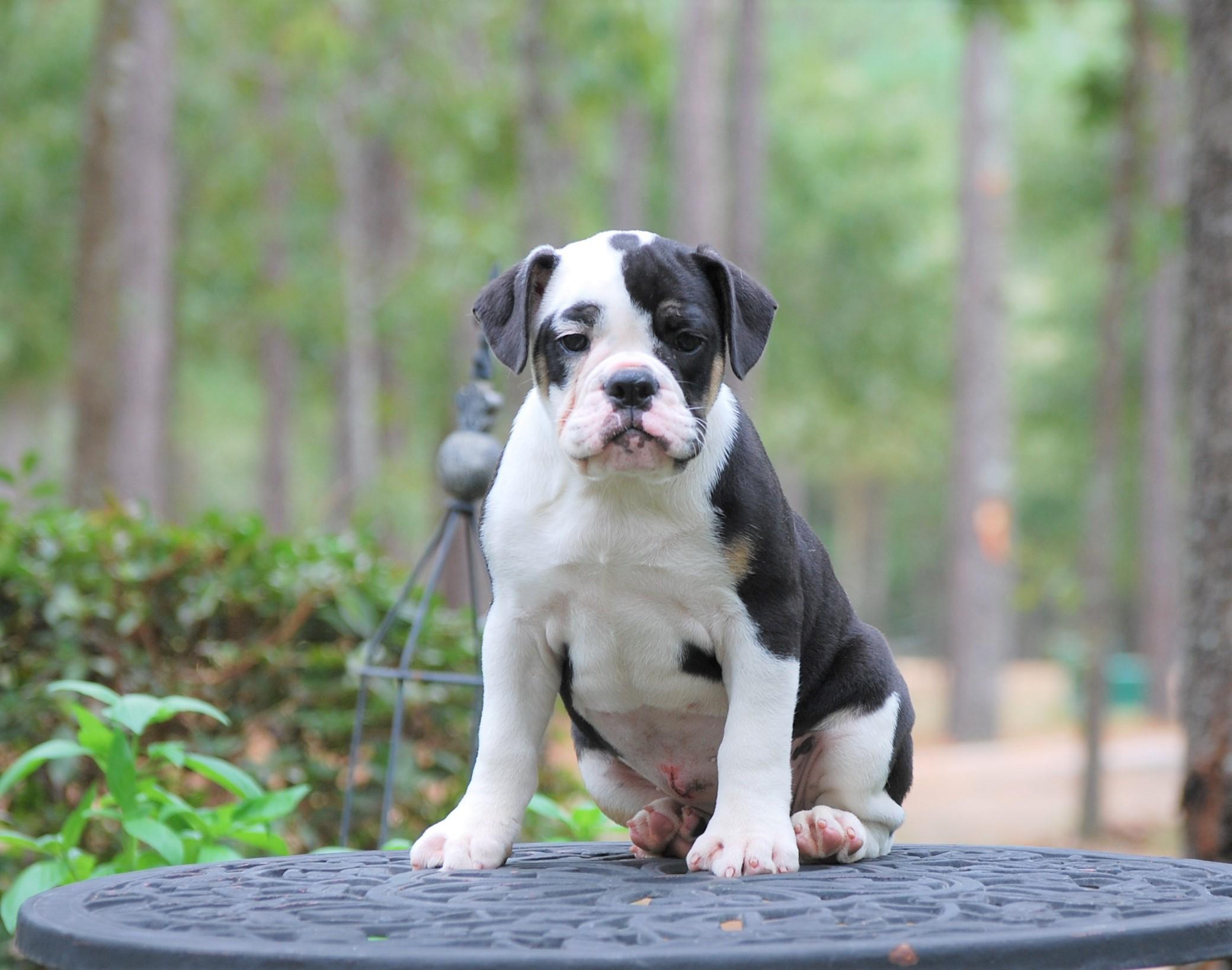 Cora Olde English Bulldogge Puppy For Sale   Photo 5