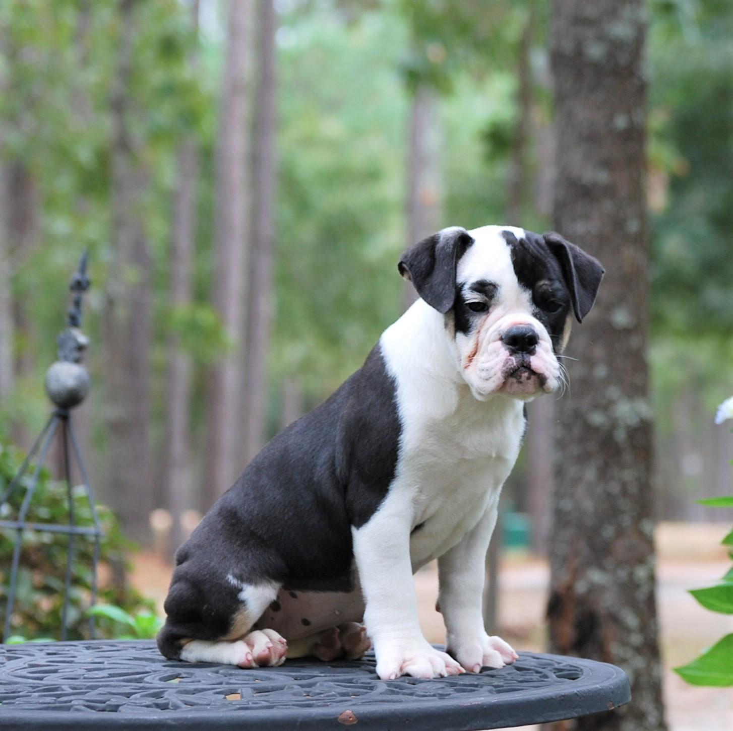 Cora Olde English Bulldogge Puppy For Sale   Photo 1