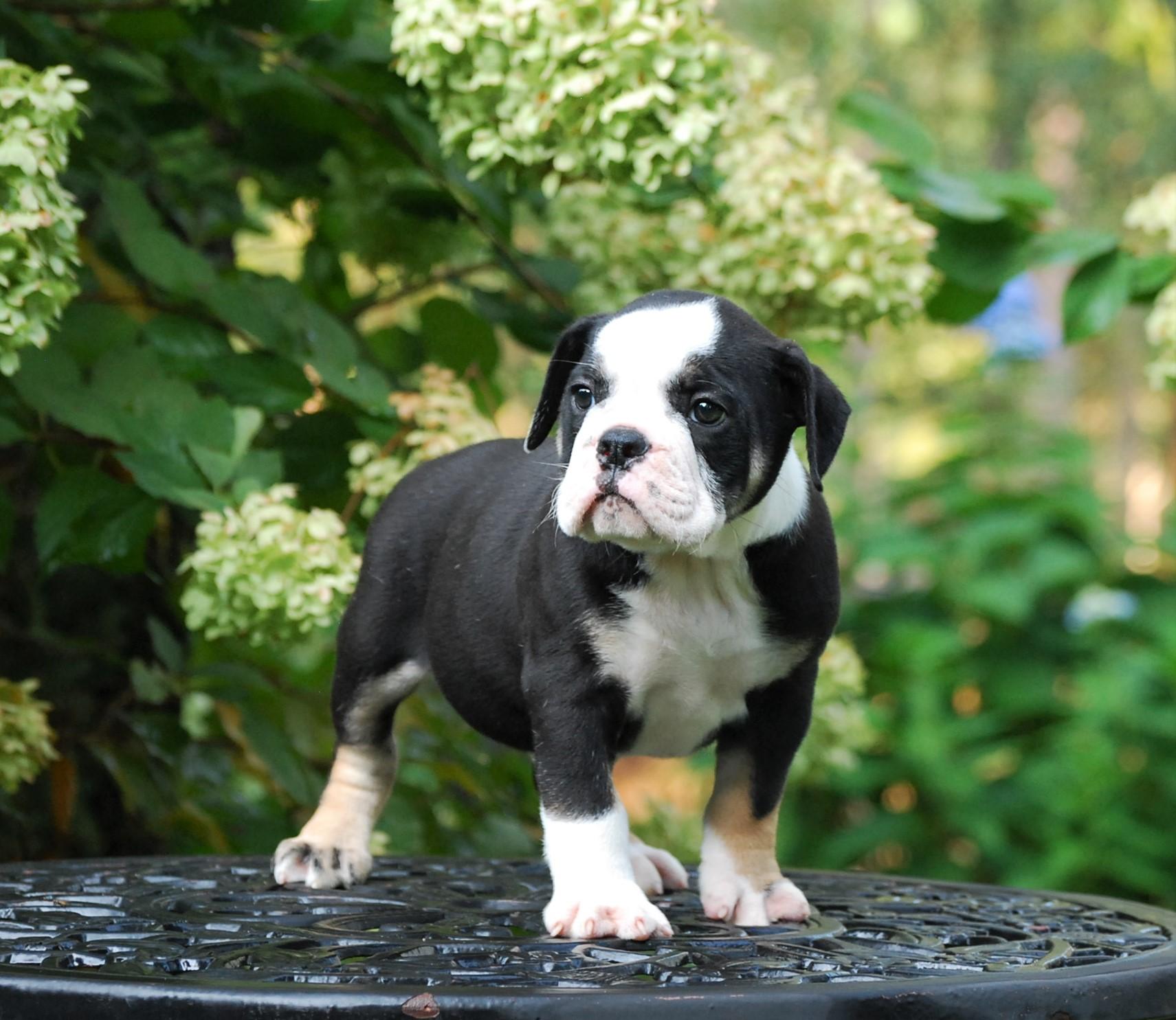 Old English Bulldog Puppy Crosby
