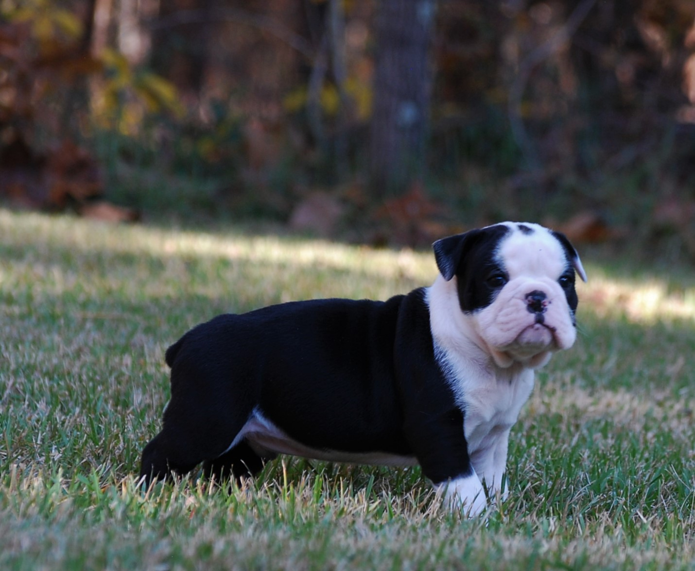 Delilah Olde English Bulldogge Puppy For Sale | Photo 1