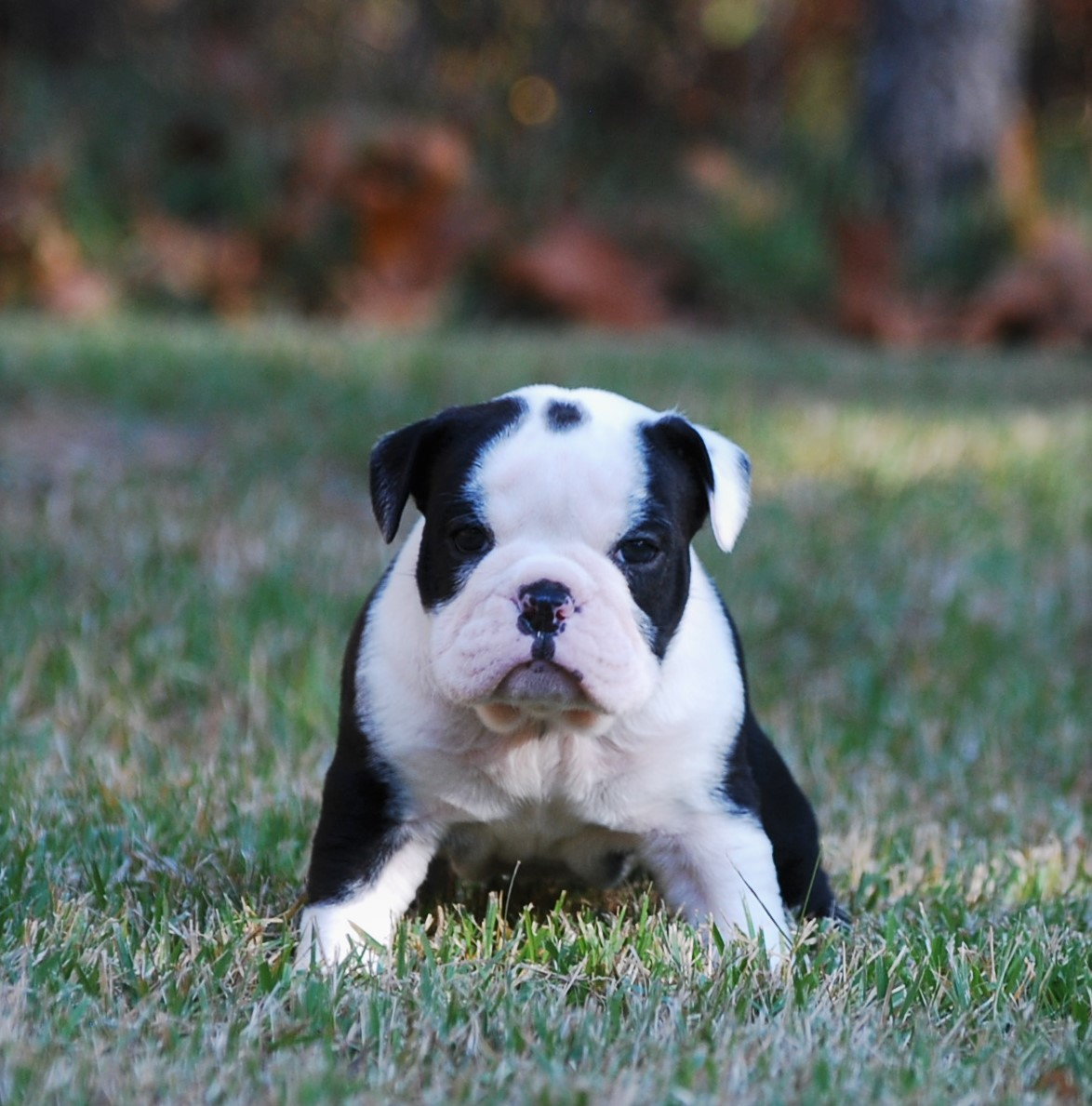 Delilah Olde English Bulldogge Puppy For Sale | Photo 5