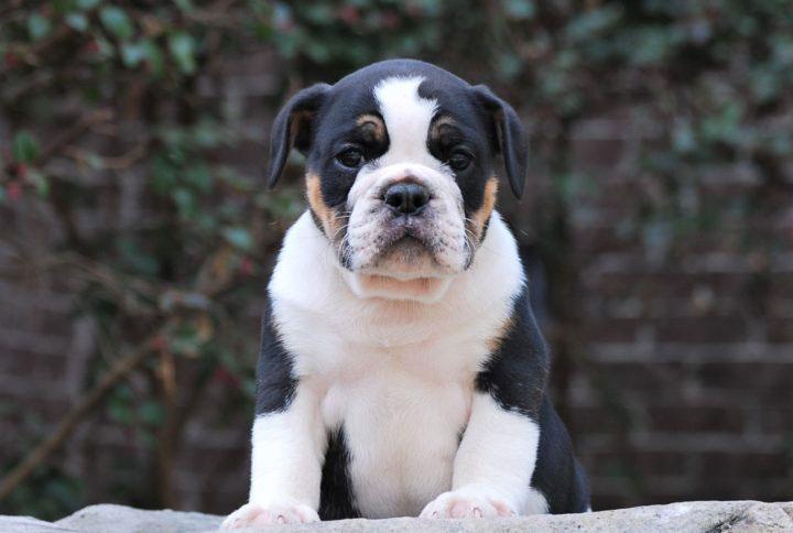 Old English Bulldog Adult Dog Dodger (Sold)