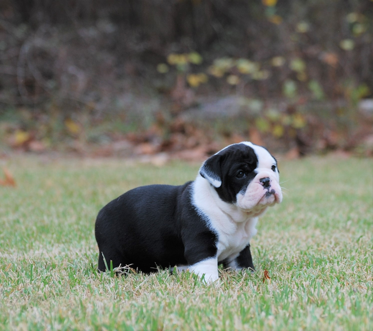 Ellie Olde English Bulldogge Puppy For Sale | Photo 1