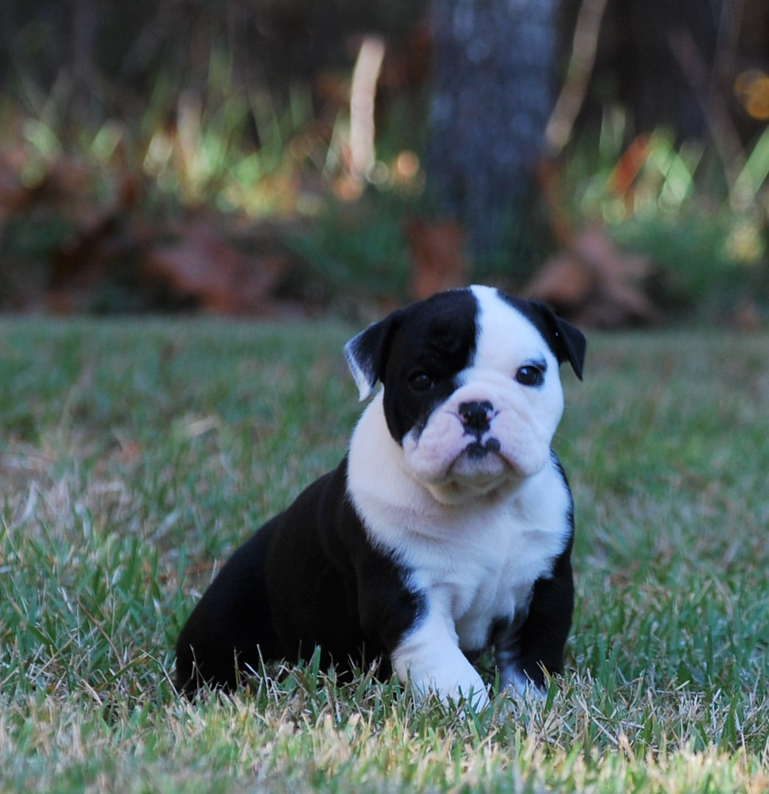 Ellie Olde English Bulldogge Puppy For Sale | Photo 12