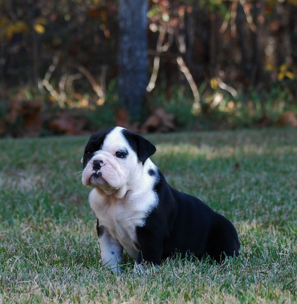 Ellie Olde English Bulldogge Puppy For Sale | Photo 4