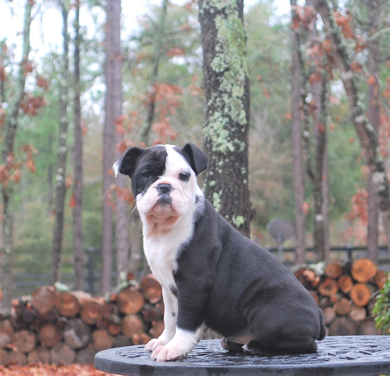 Ellie (SOLD) Olde English Bulldogge Puppy For Sale   Photo 2