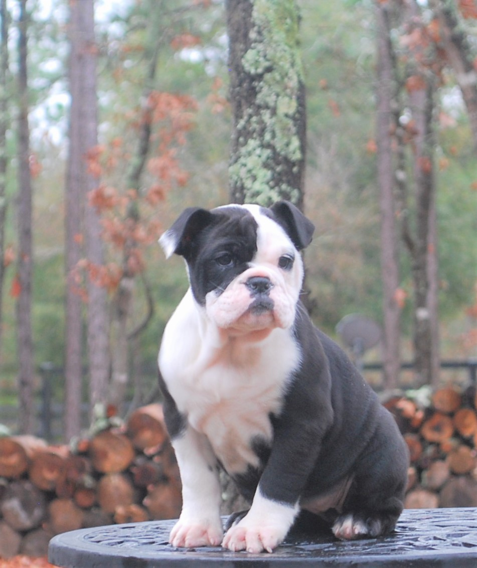 Ellie (SOLD) Olde English Bulldogge Puppy For Sale   Photo 0