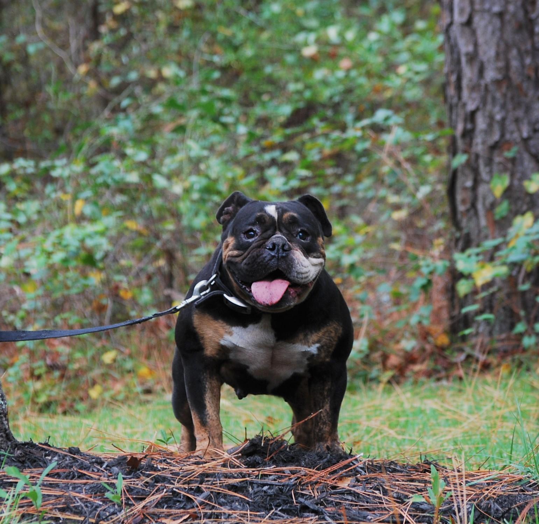 Old English Bulldog Adult Dog Envy
