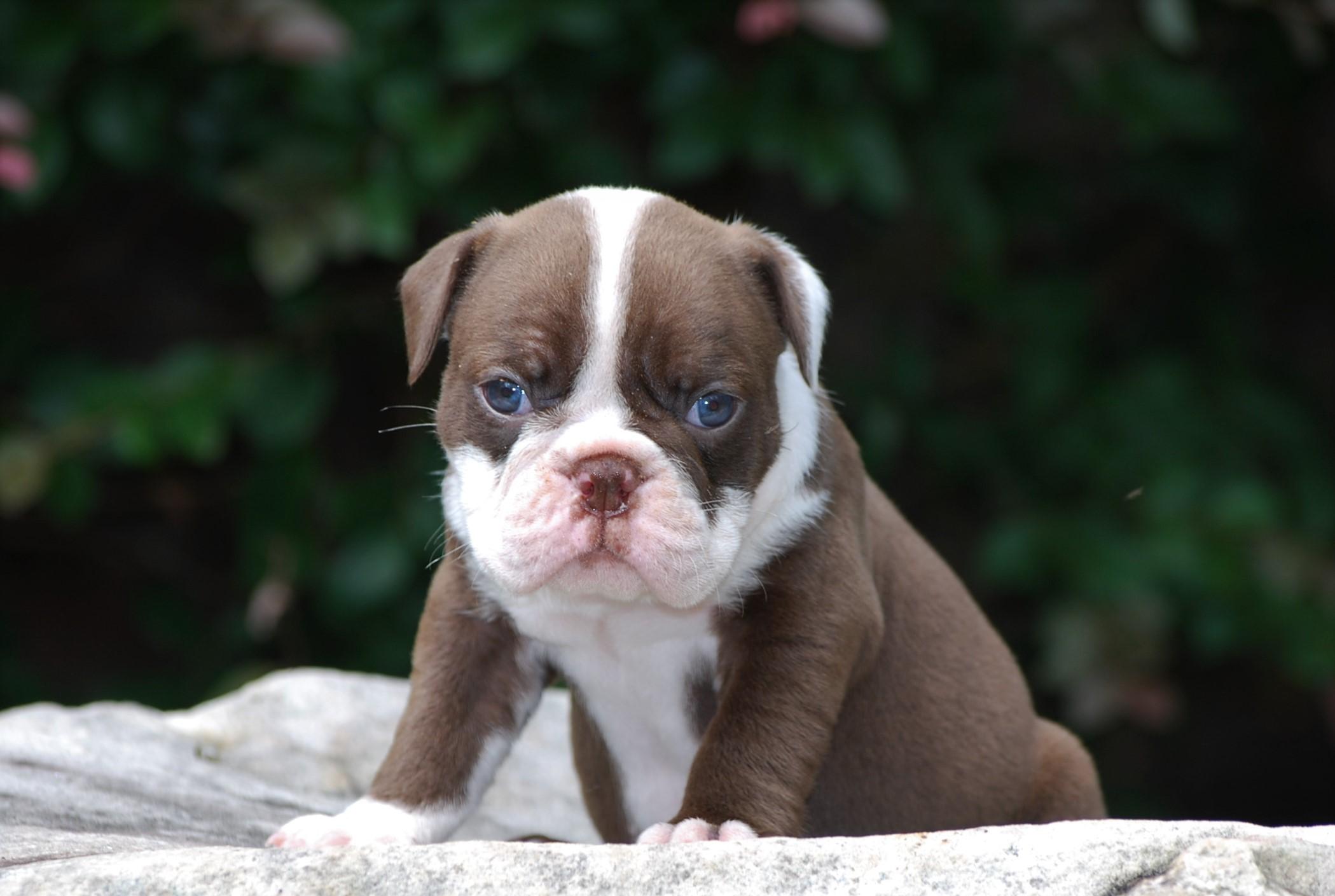 Ethyl Olde English Bulldogge Puppy For Sale | Photo 3
