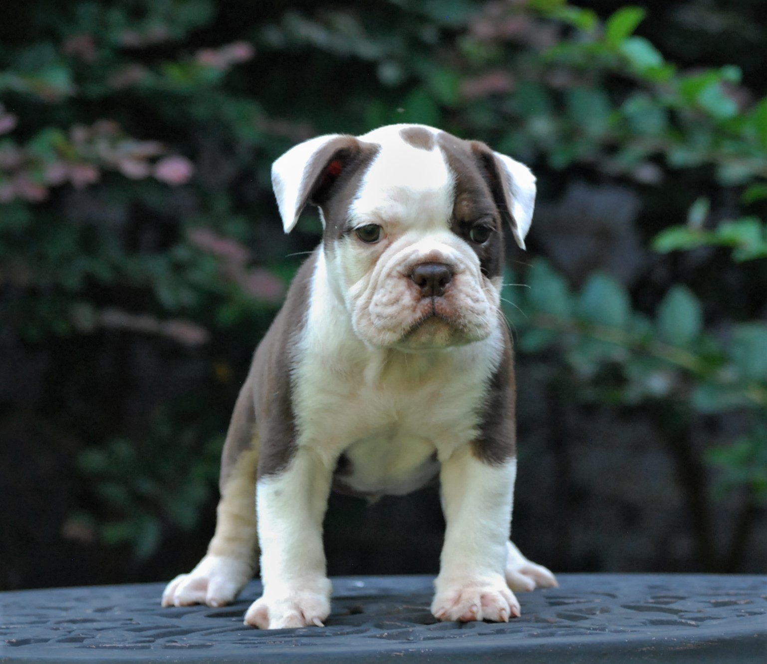 Gus Olde English Bulldogge Puppy For Sale | Photo 3