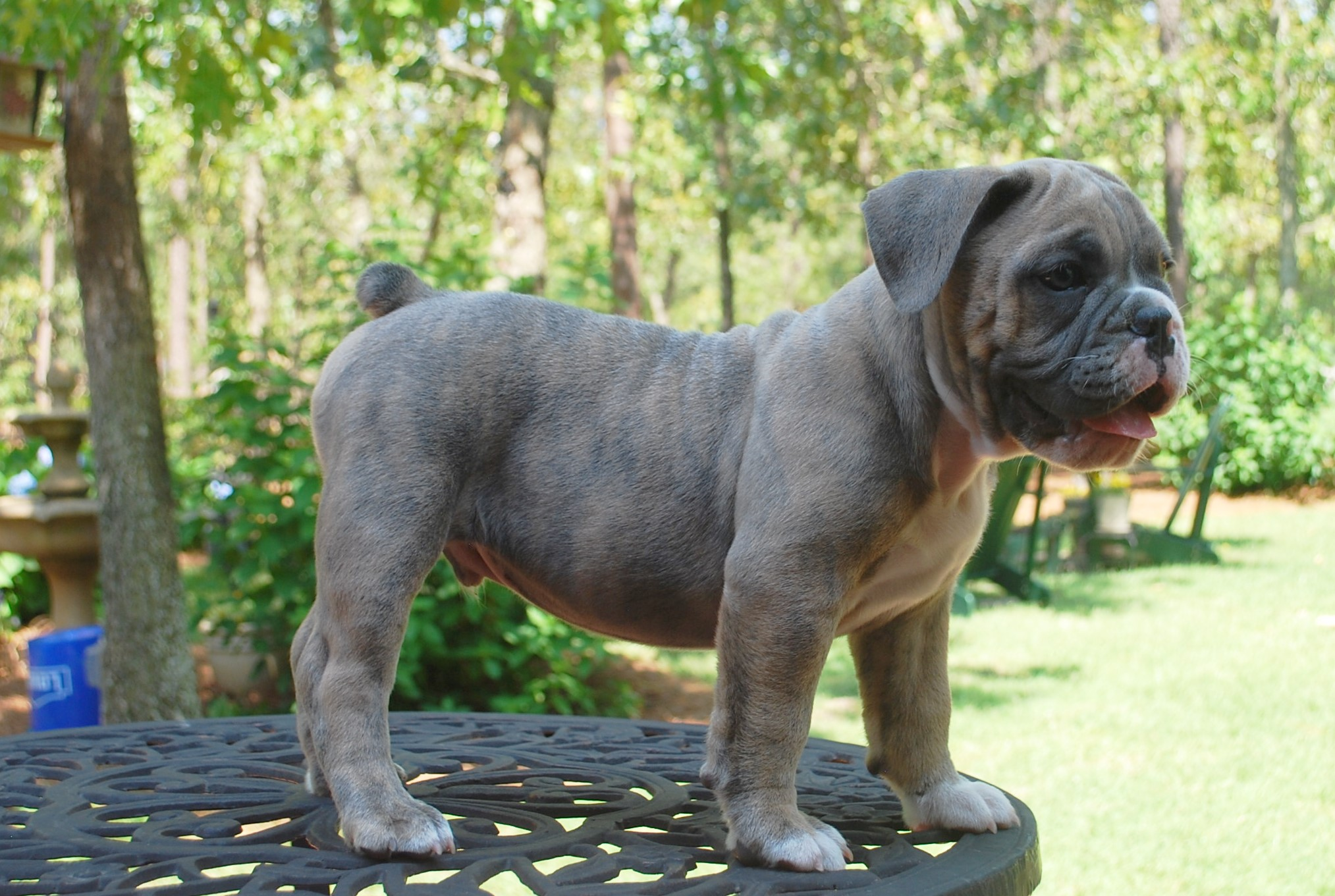 Hawkeye Olde English Bulldogge Puppy For Sale | Photo 3