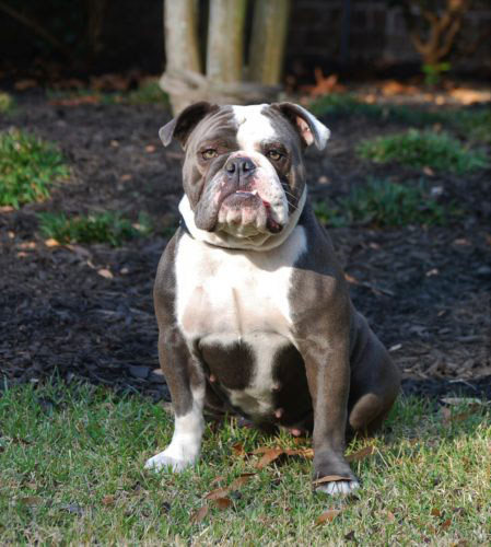 Old English Bulldog Adult Dog Ivey (Retired)