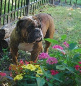 Old English Bulldog Adult Dog Krusher