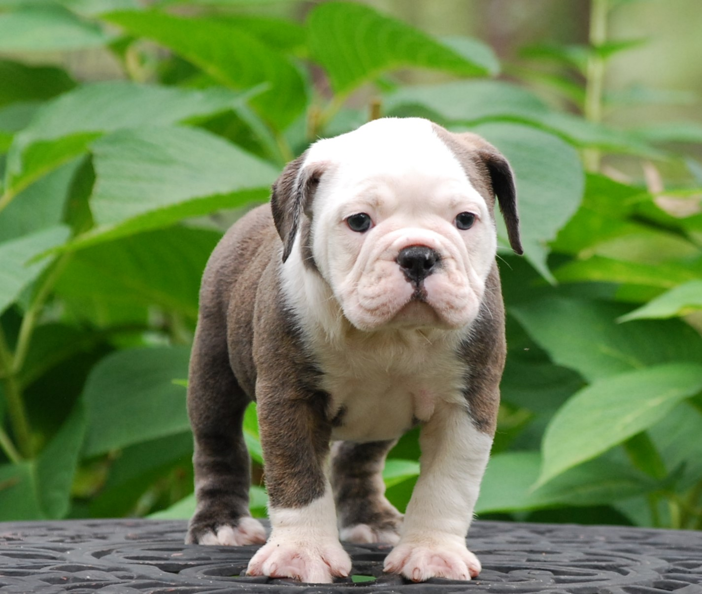 Laffy Taffy Olde English Bulldogge Puppy For Sale | Photo 5