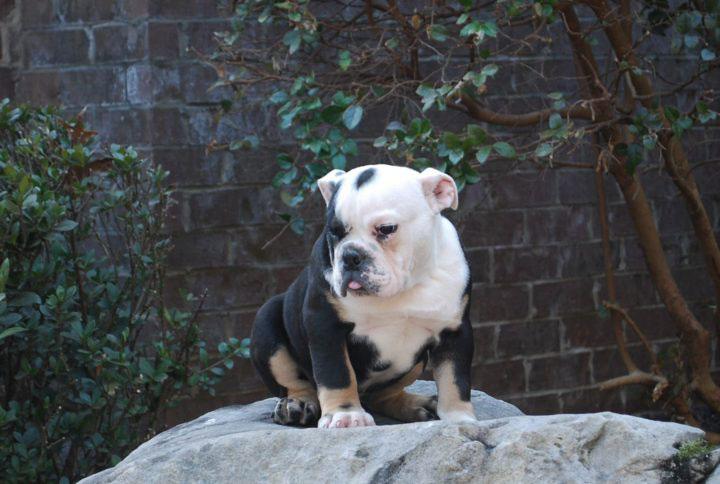 Old English Bulldog Adult Dog Little Lightning (SOLD)
