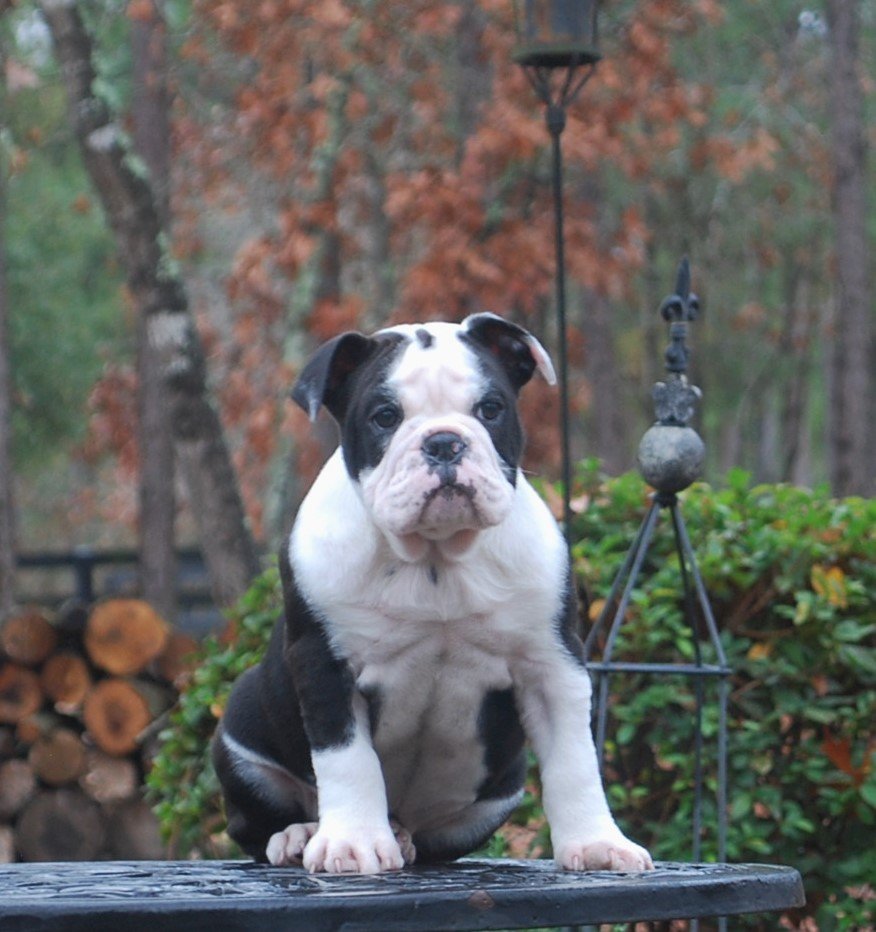 Delilah (SOLD) Olde English Bulldogge Puppy For Sale | Photo 0