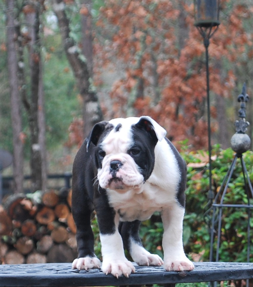 Delilah (SOLD) Olde English Bulldogge Puppy For Sale | Photo 4