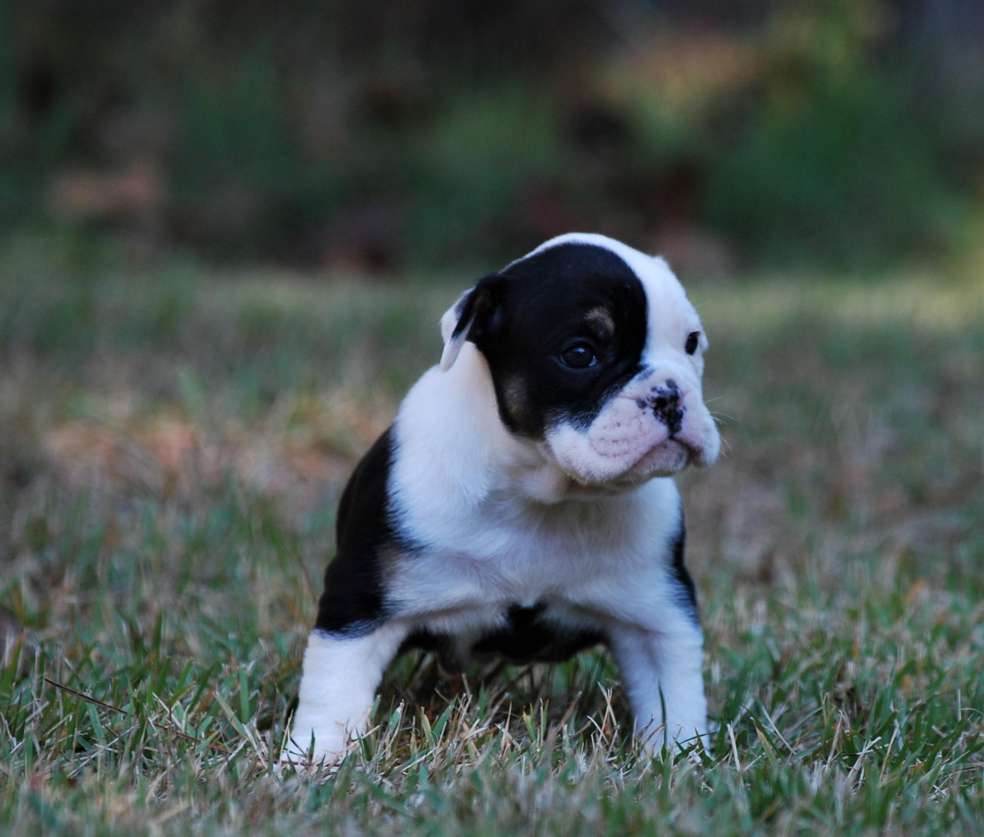 Maggie Olde English Bulldogge Puppy For Sale   Photo 2