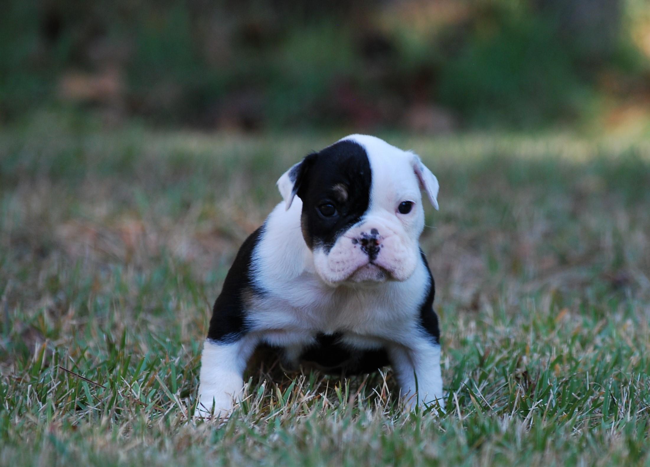 Maggie Olde English Bulldogge Puppy For Sale   Photo 3