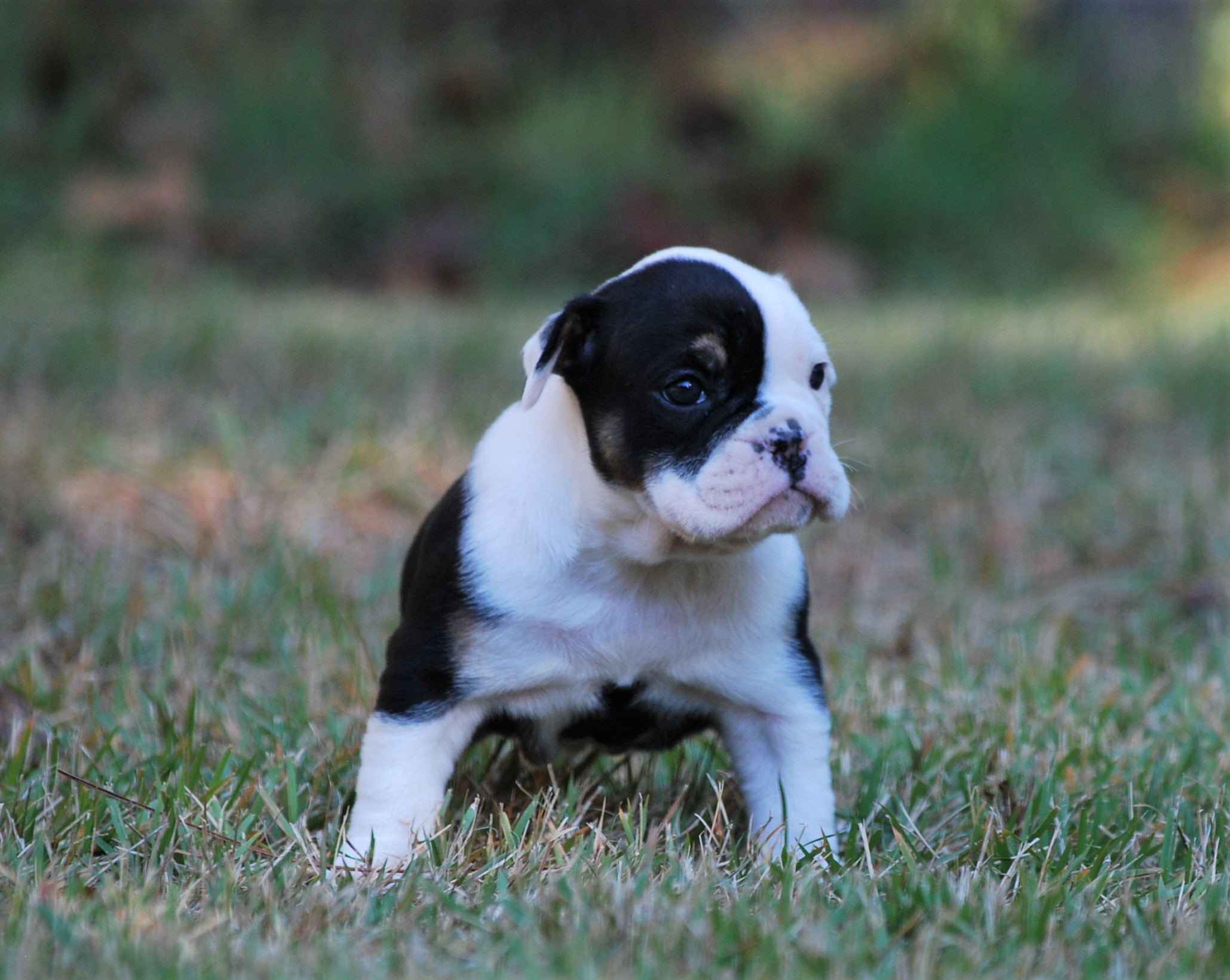 Maggie Olde English Bulldogge Puppy For Sale   Photo 4