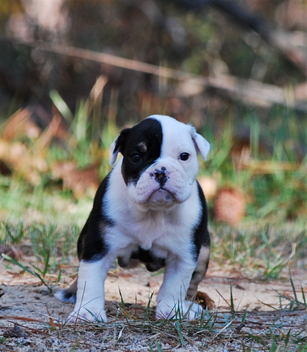 Maggie Olde English Bulldogge Puppy For Sale   Photo 5