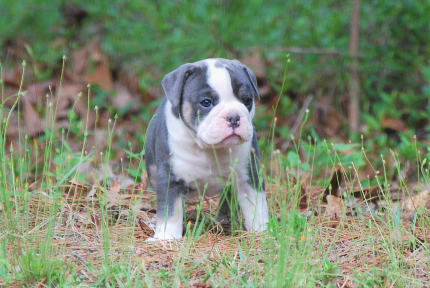 Molly Olde English Bulldogge Puppy For Sale | Photo 4