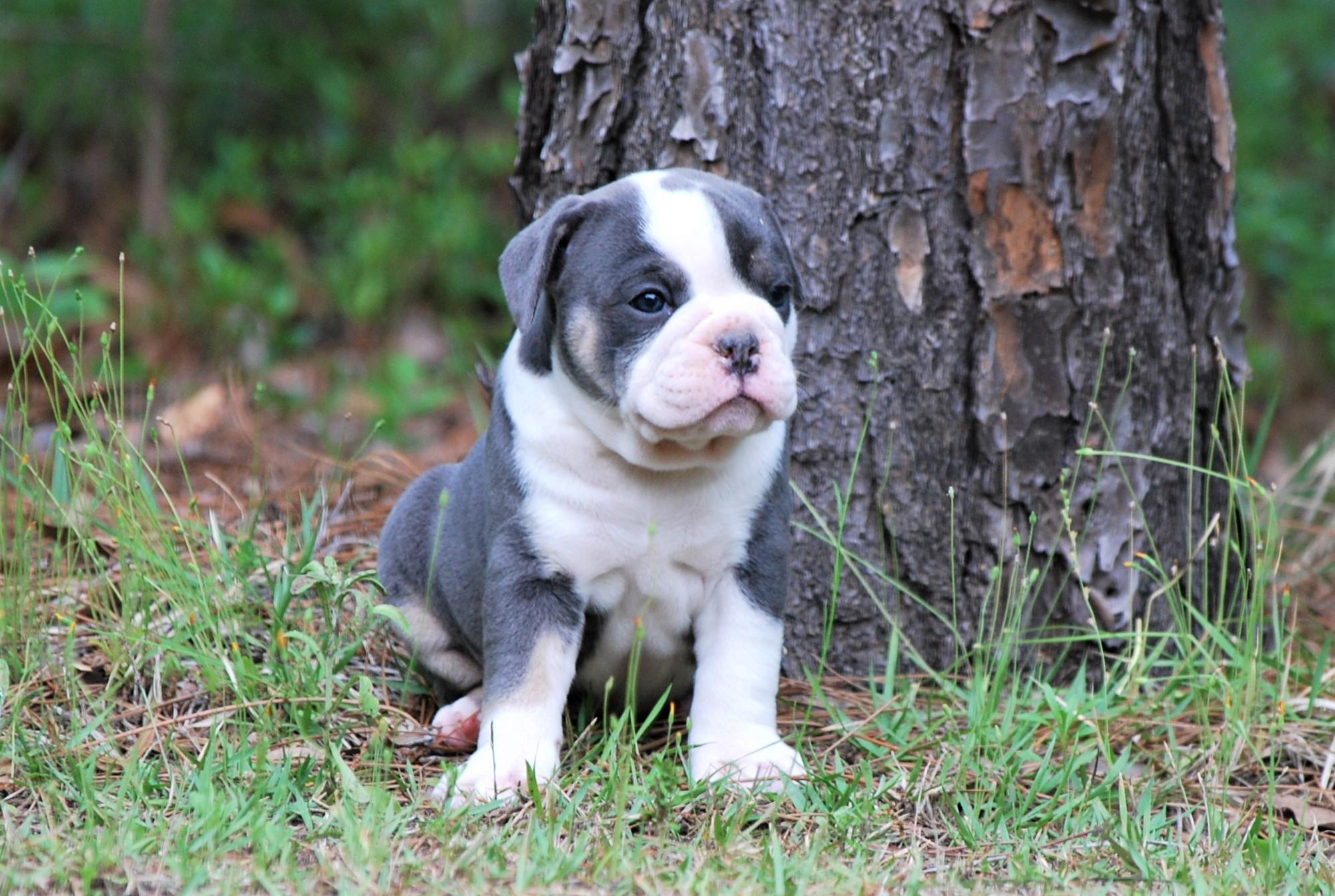 Molly Olde English Bulldogge Puppy For Sale | Photo 5