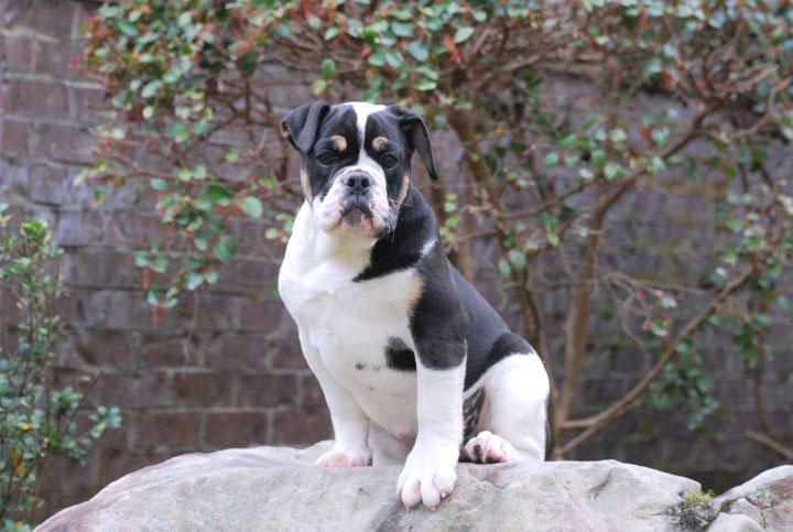 Old English Bulldog Adult Dog Nala