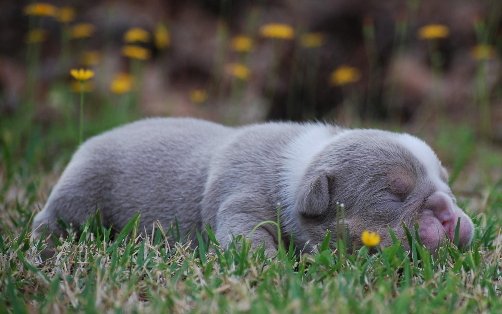 Nugget Olde English Bulldogge Puppy For Sale | Photo 1