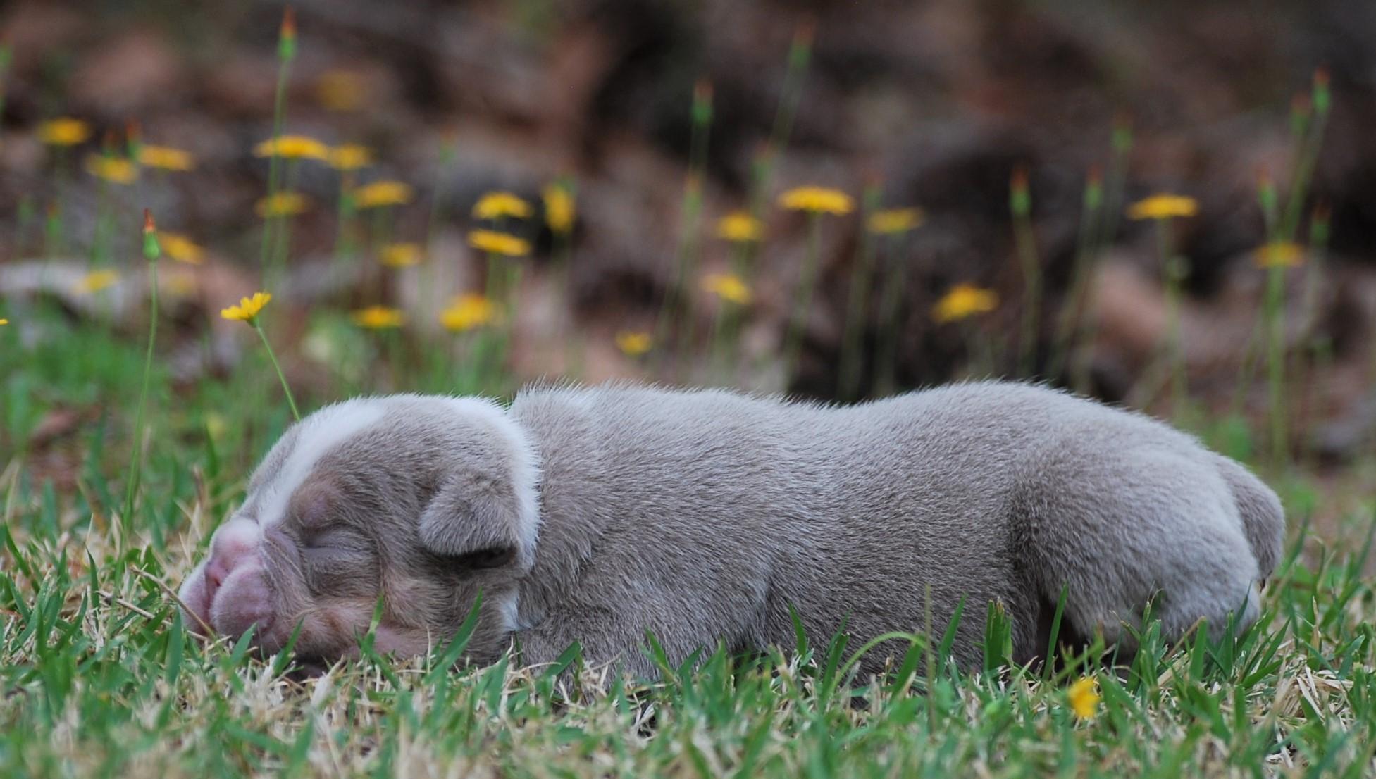 Nugget Olde English Bulldogge Puppy For Sale | Photo 3