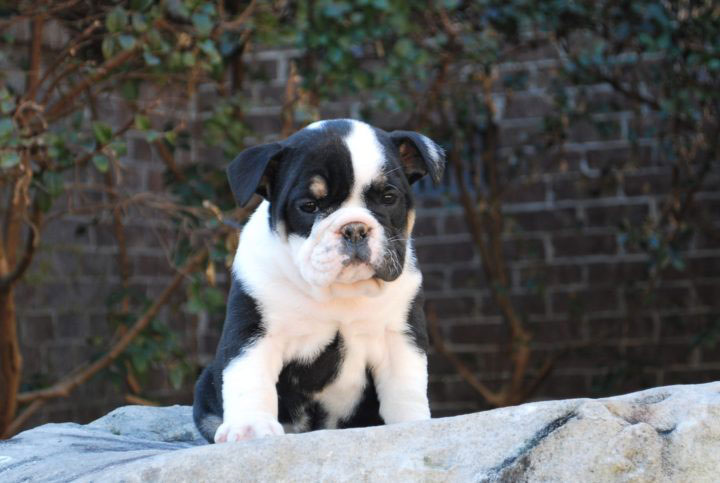 Old English Bulldog Adult Dog Patsie