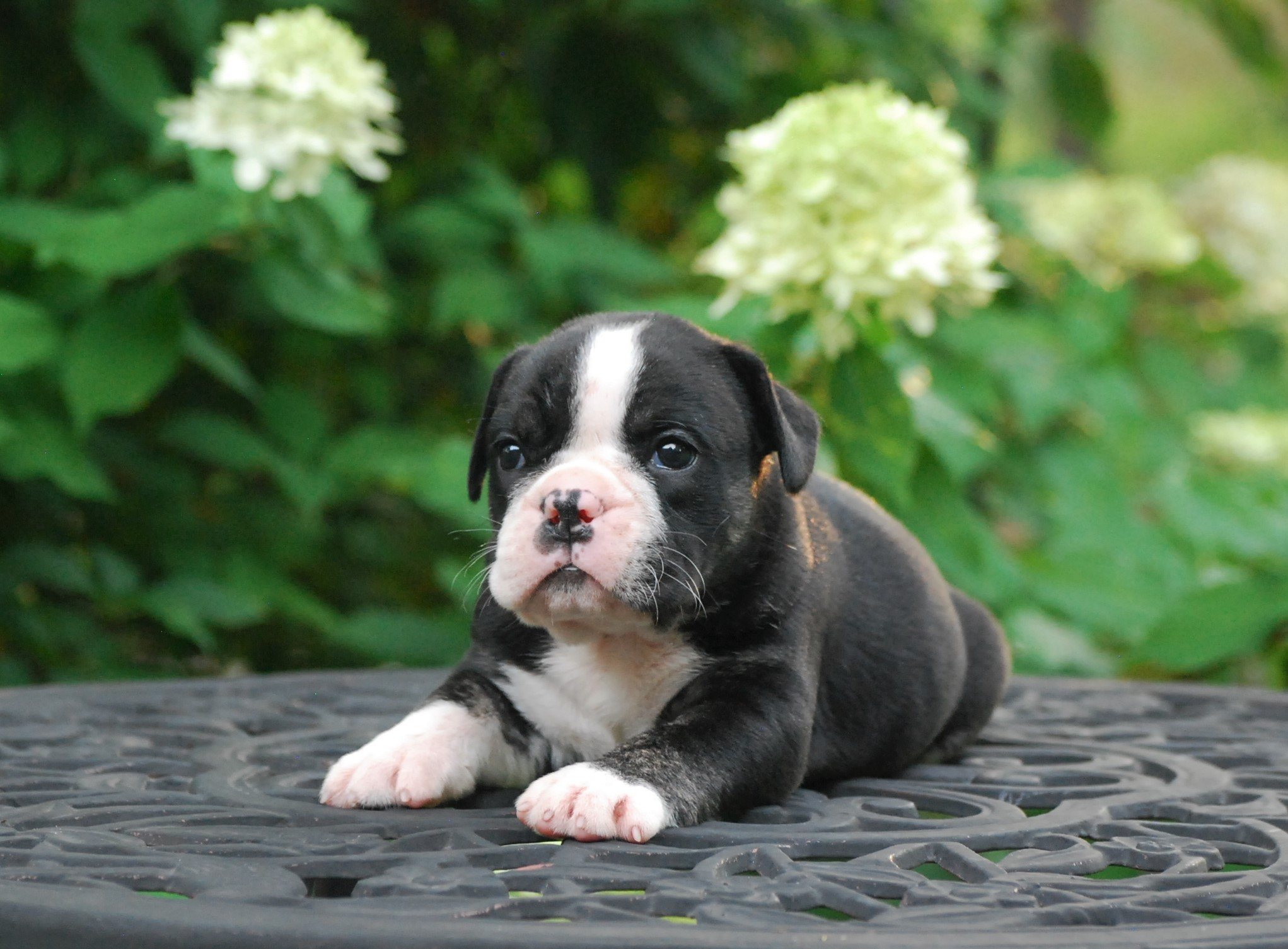Polly (SOLD) Olde English Bulldogge Puppy For Sale | Photo 5
