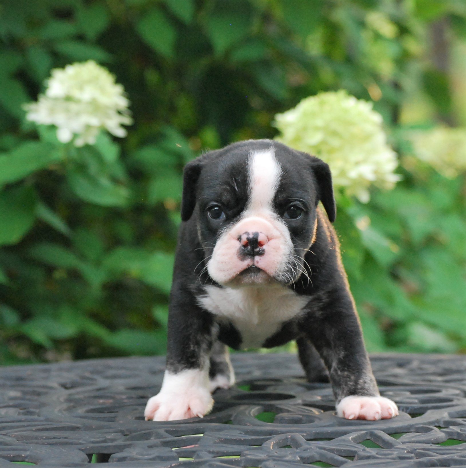 Polly (SOLD) Olde English Bulldogge Puppy For Sale | Photo 3