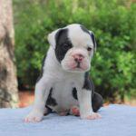 Old English Bulldog Adult Dog Ralph