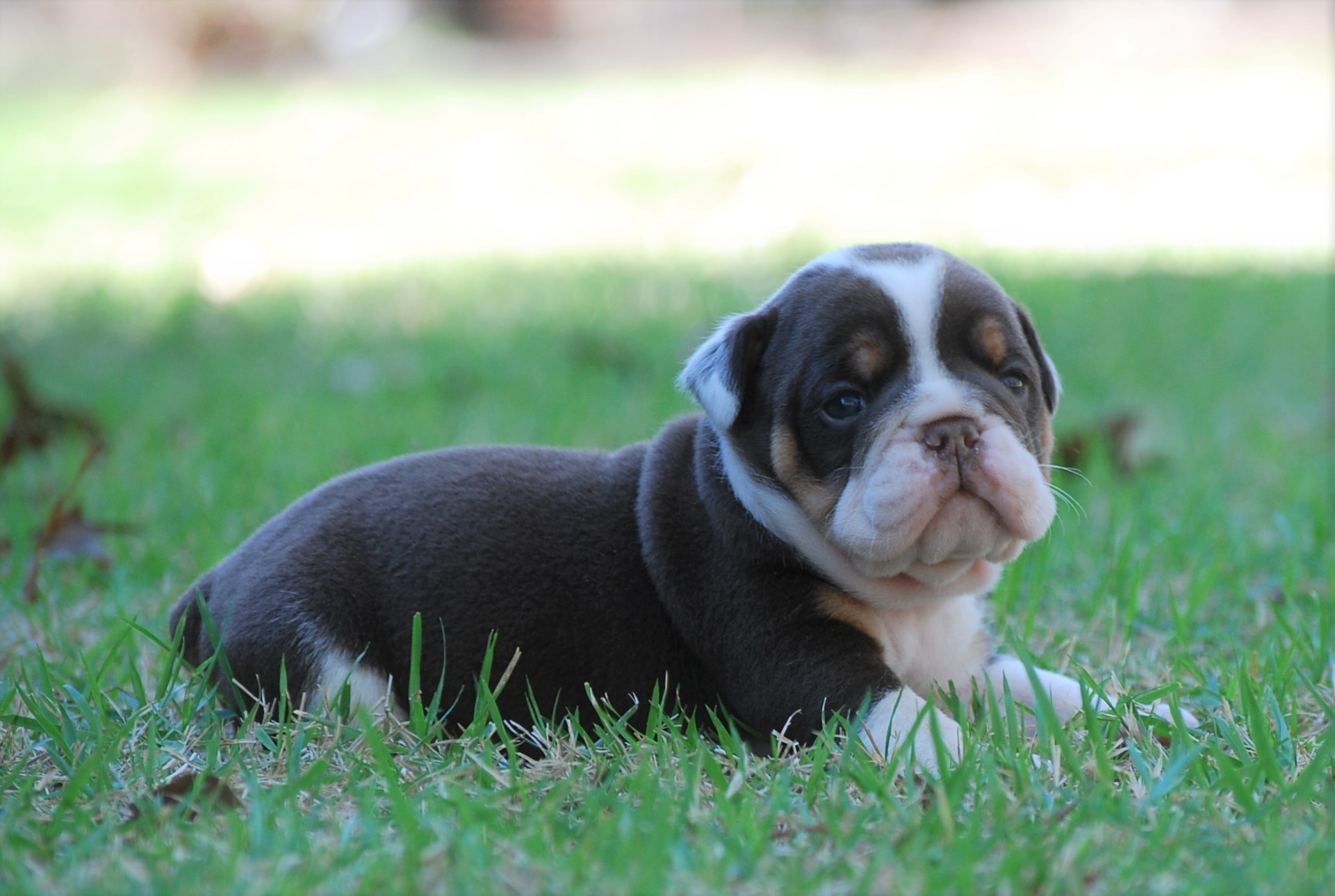 Rascal (SOLD) Olde English Bulldogge Puppy For Sale | Photo 3