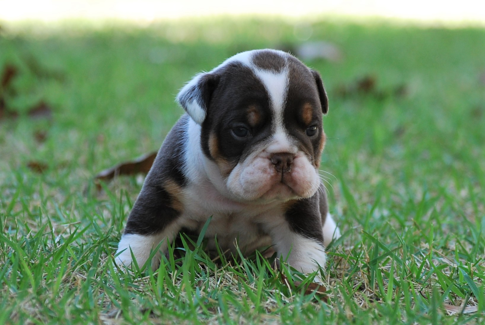 Rascal (SOLD) Olde English Bulldogge Puppy For Sale | Photo 2