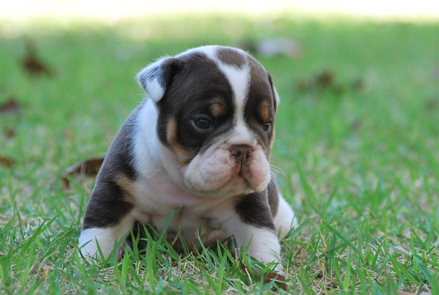 Rascal (SOLD) Olde English Bulldogge Puppy For Sale | Photo 4