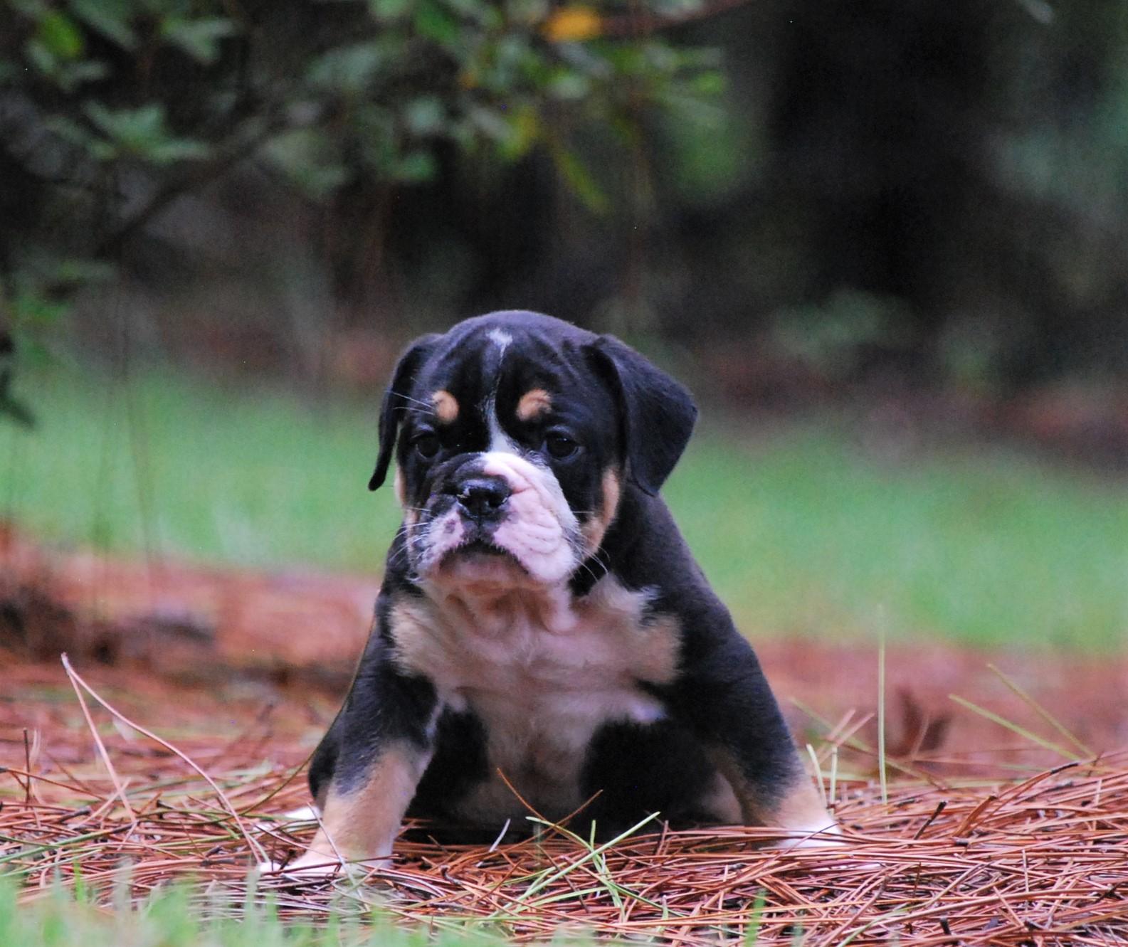 Raven Olde English Bulldogge Puppy For Sale | Photo 1