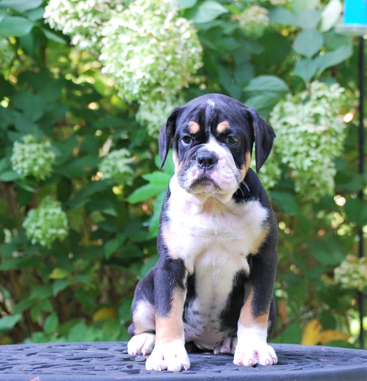 Raven (Sold) Olde English Bulldogge Puppy For Sale | Photo 7