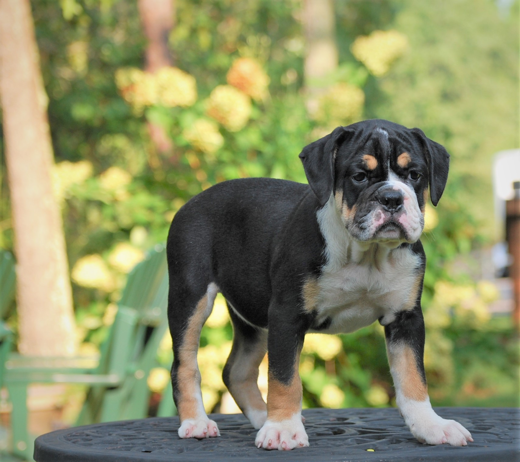 Raven (Sold) Olde English Bulldogge Puppy For Sale | Photo 4