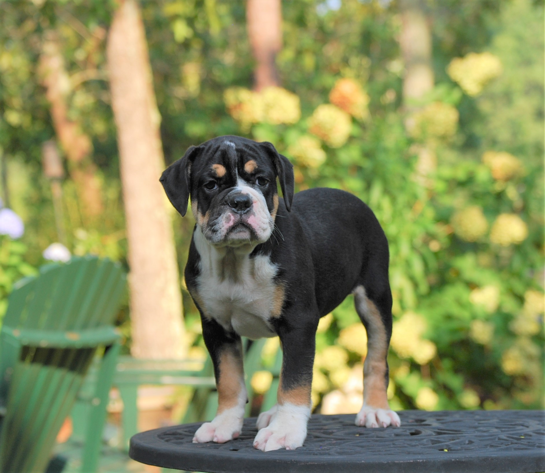 Raven (Sold) Olde English Bulldogge Puppy For Sale | Photo 5