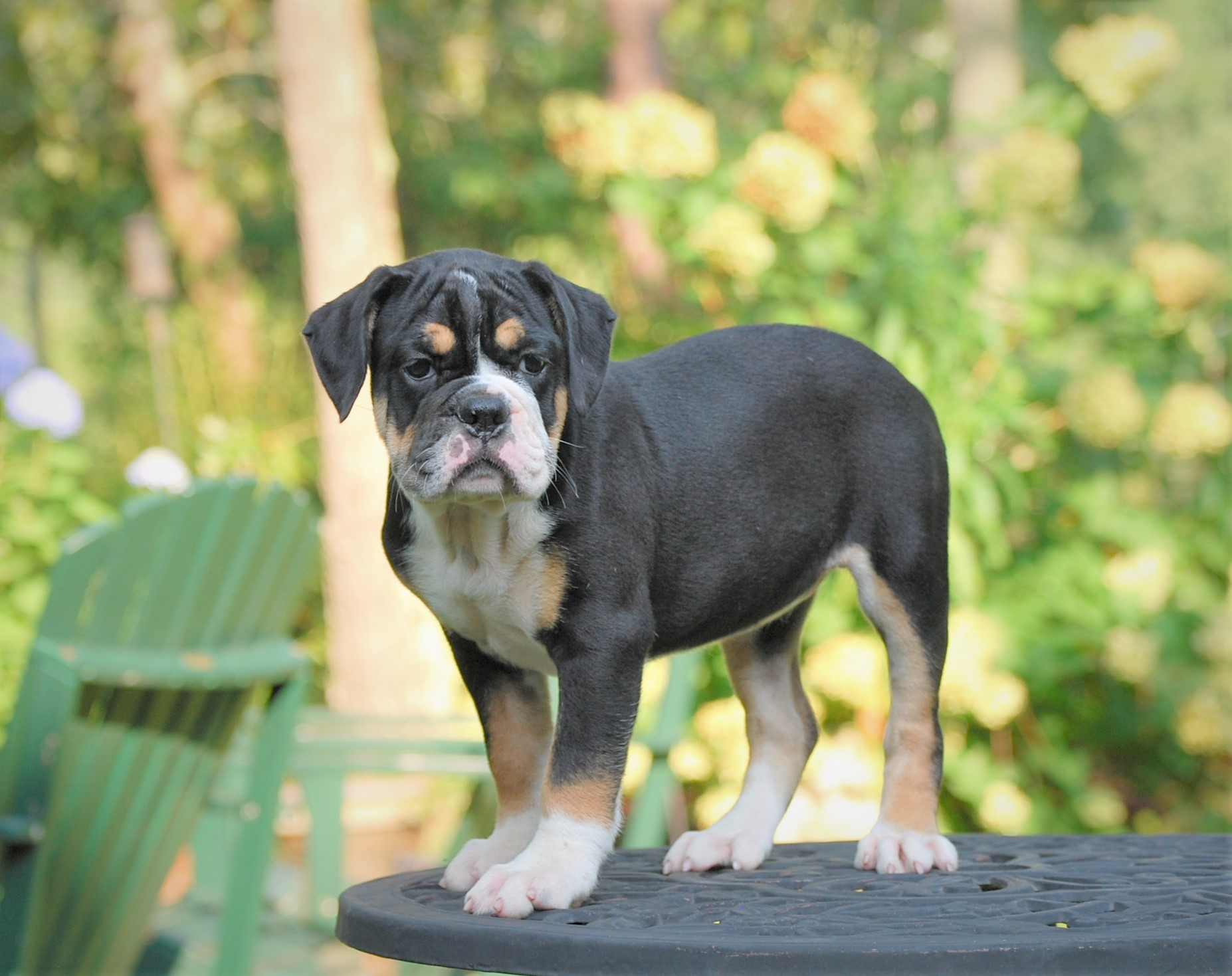 Raven (Sold) Olde English Bulldogge Puppy For Sale | Photo 6