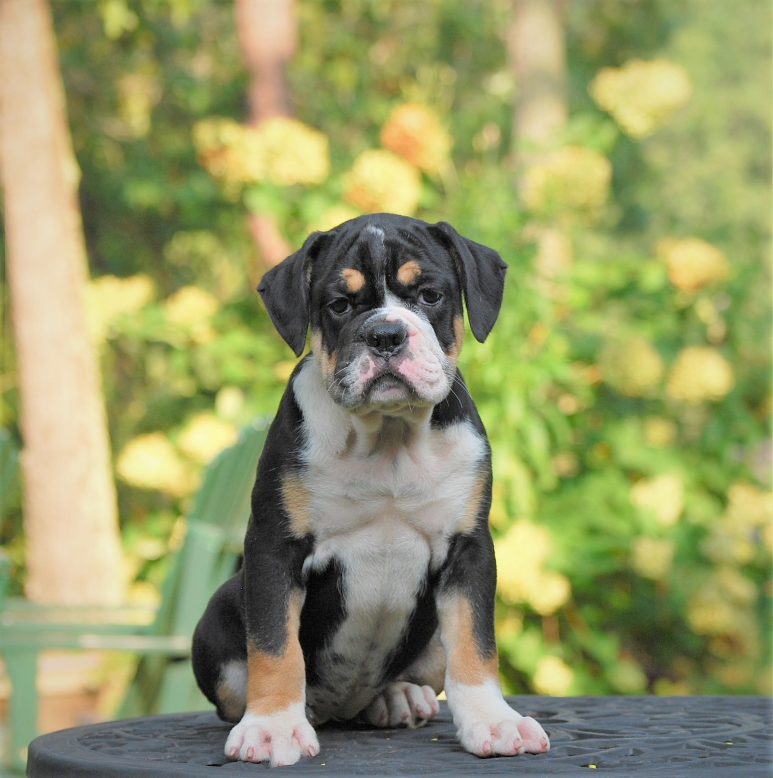 Raven (Sold) Olde English Bulldogge Puppy For Sale | Photo 0