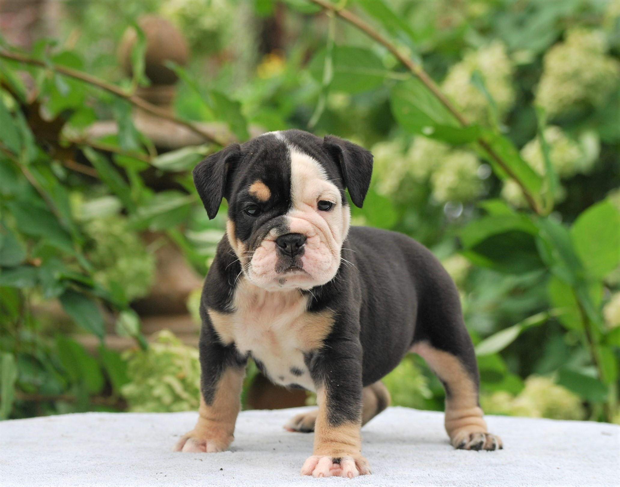 Roxy Olde English Bulldogge Puppy For Sale | Photo 0