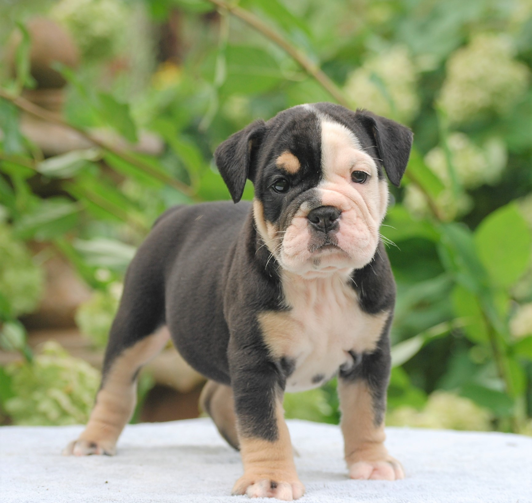 Roxy Olde English Bulldogge Puppy For Sale | Photo 3