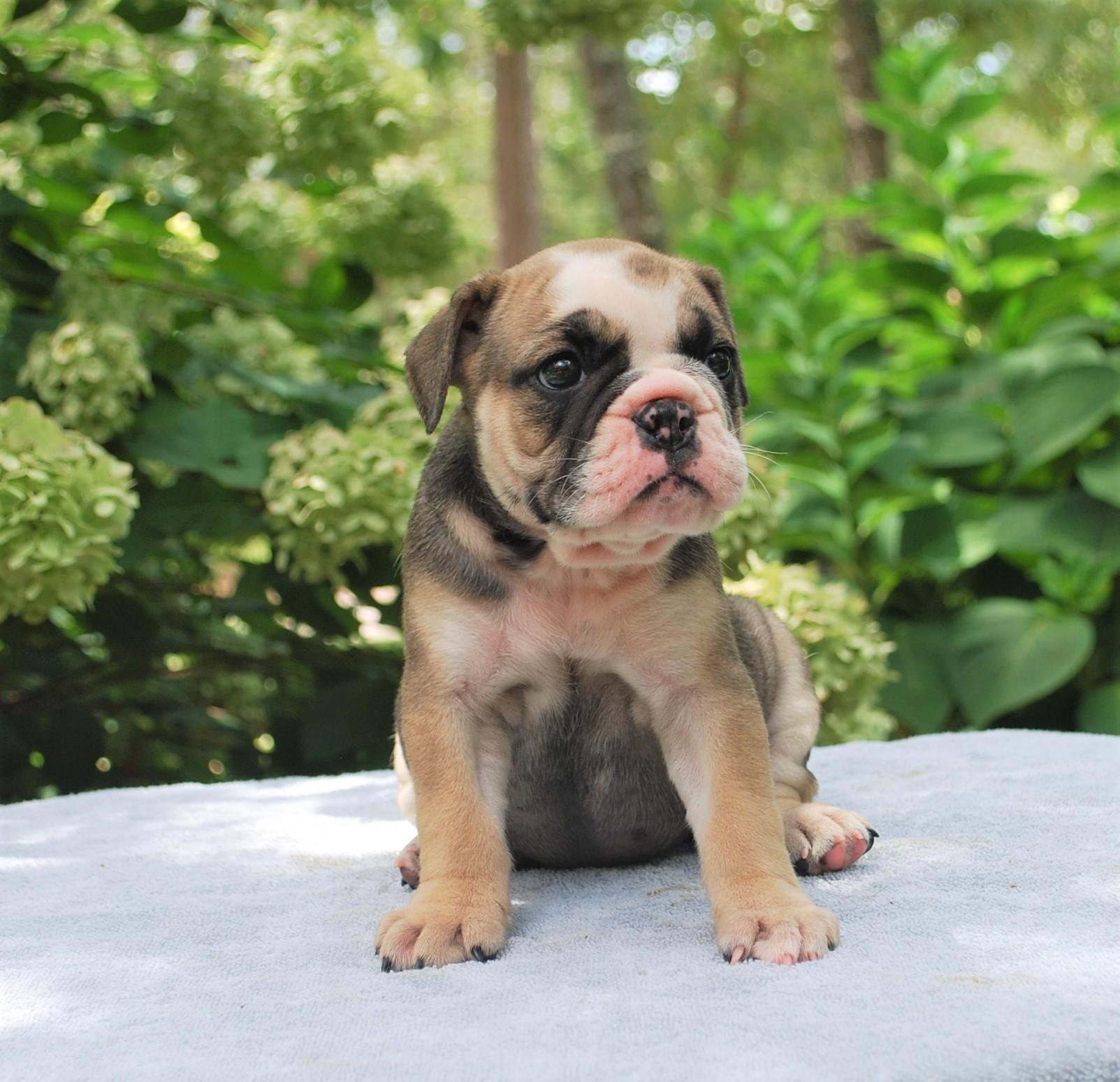 Olde English Bulldogge Puppies For Sale In Atlanta