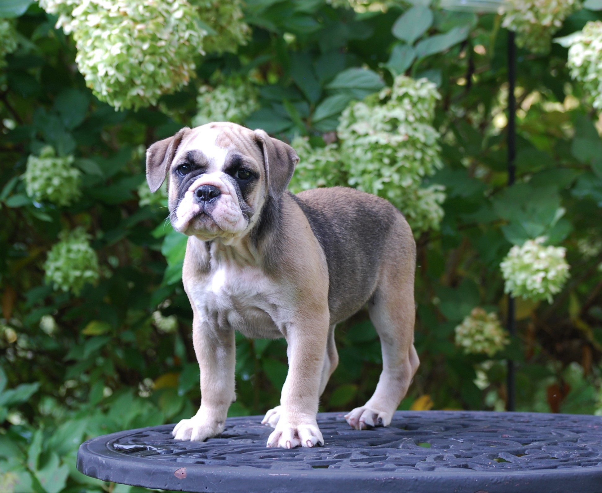 Ruby Olde English Bulldogge Puppy For Sale | Photo 1