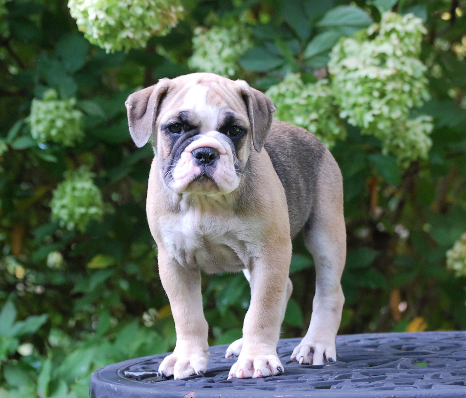 Ruby Olde English Bulldogge Puppy For Sale | Photo 2