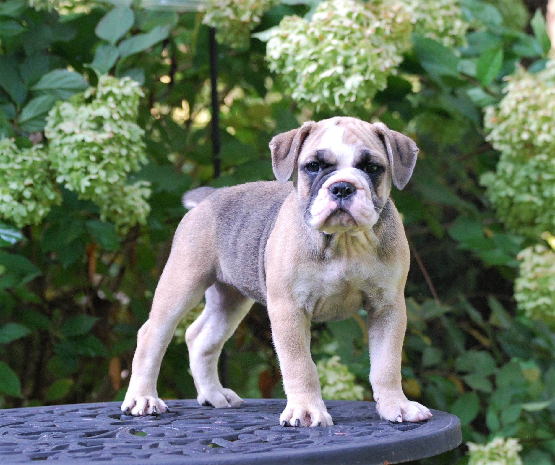 Ruby Olde English Bulldogge Puppy For Sale | Photo 3